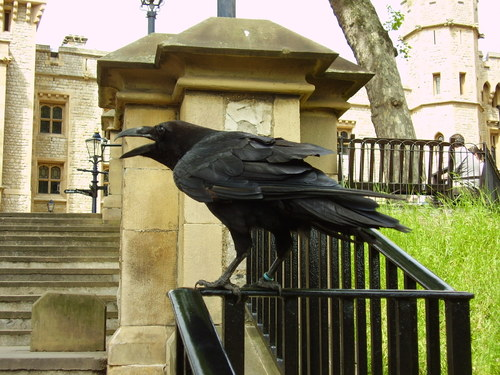 Raven at London Tower